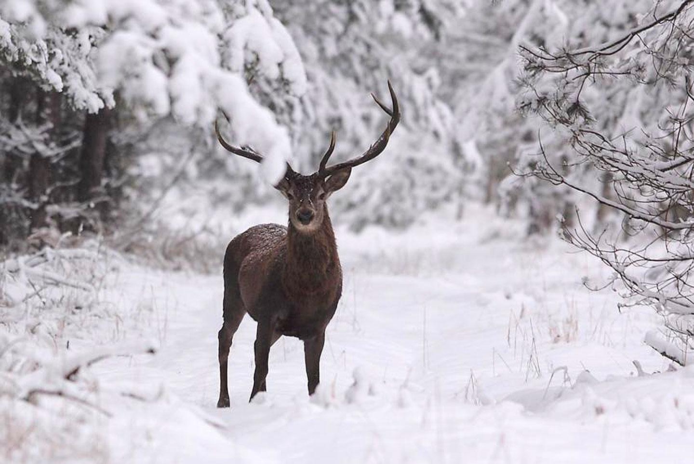 Każdy jeleń wie, że zimą jest zima i zazwyczaj pada śnieg
